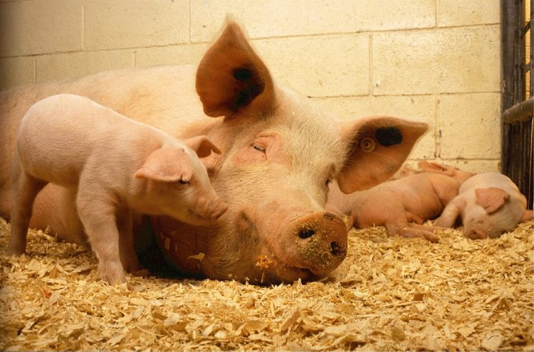 How to Start a Pig Farming in India