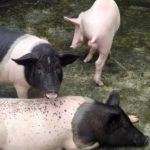 yorkshire cross gilt for sale