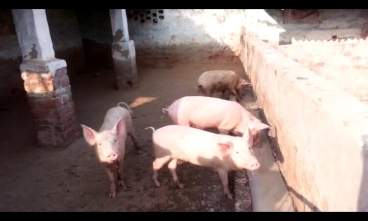 pig fattening business