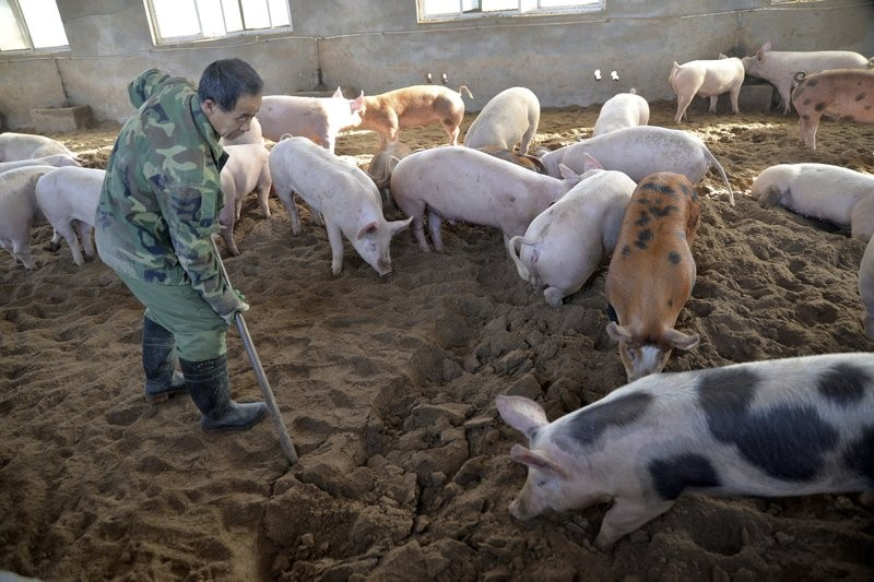 Hog Cholera Vaccine for Pigs