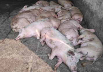 swine fever vaccine apply