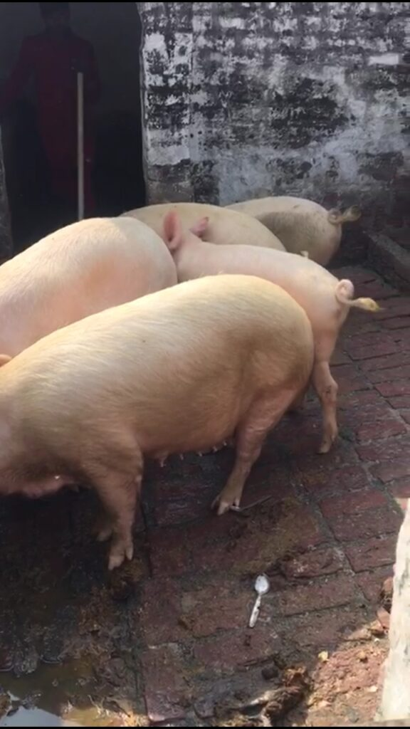 growing pigs for meat