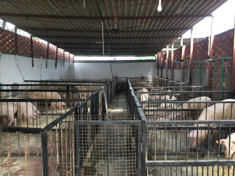 is pig farming profitable in india