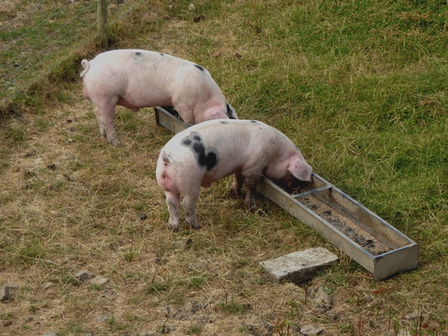 Automatic pig feeding systems