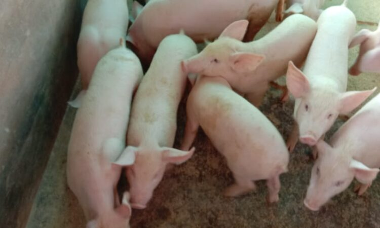 buy pigs online in bangalore