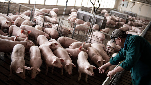 ideas for starting a pig farm