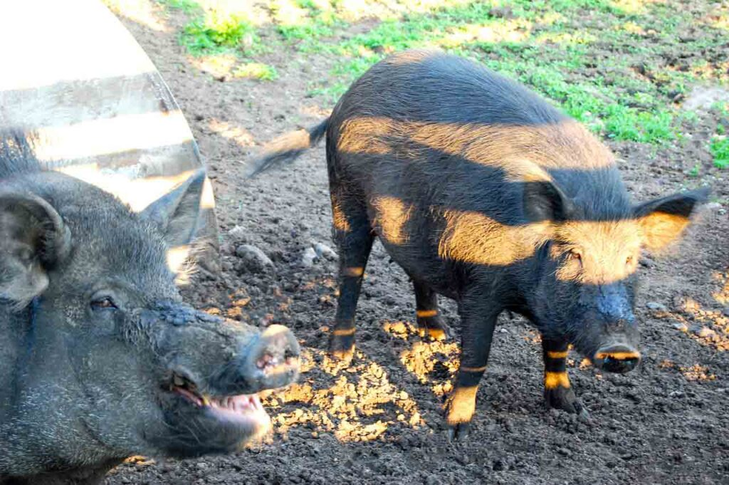 why start pig cultivating