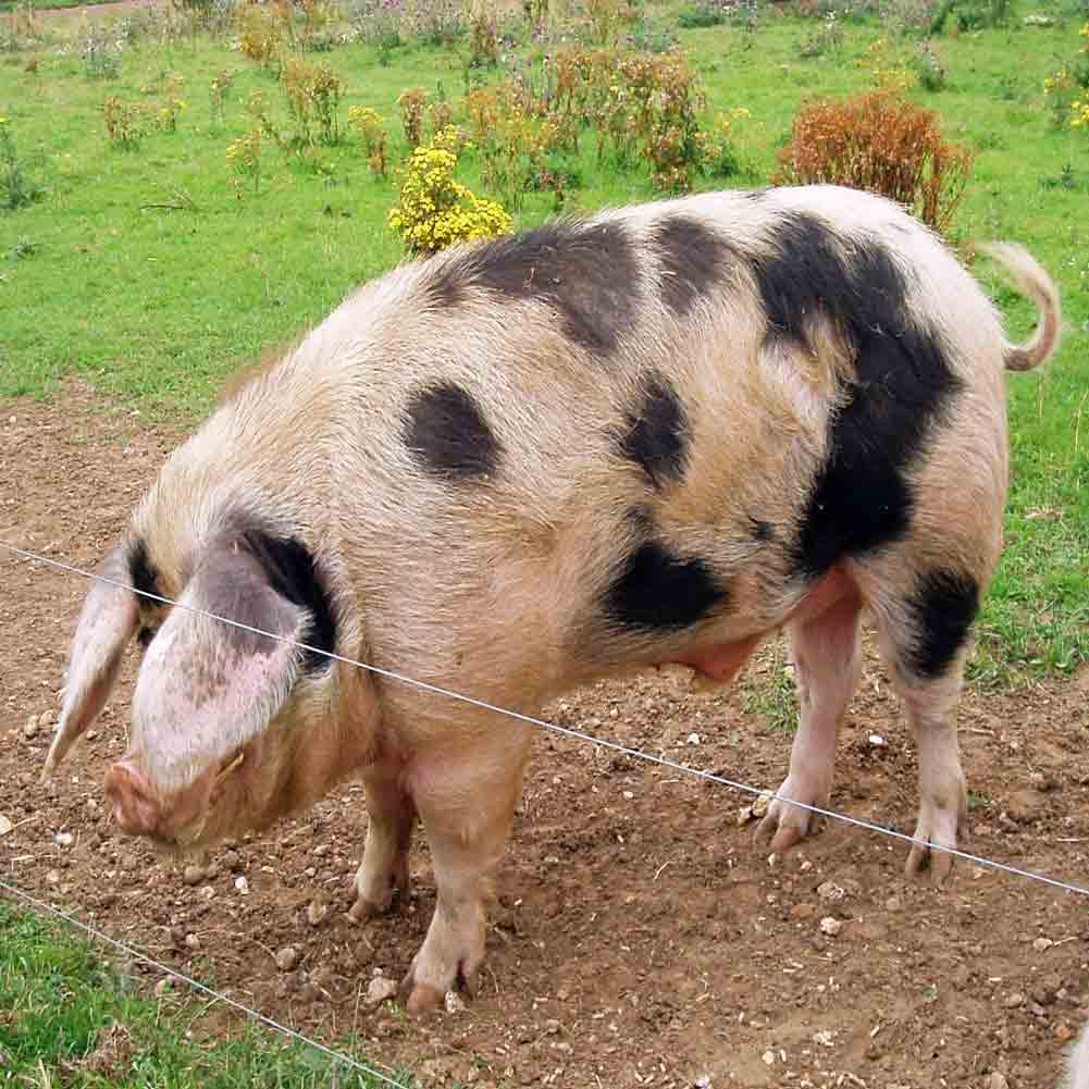 Which sort of pig is commonly beneficial