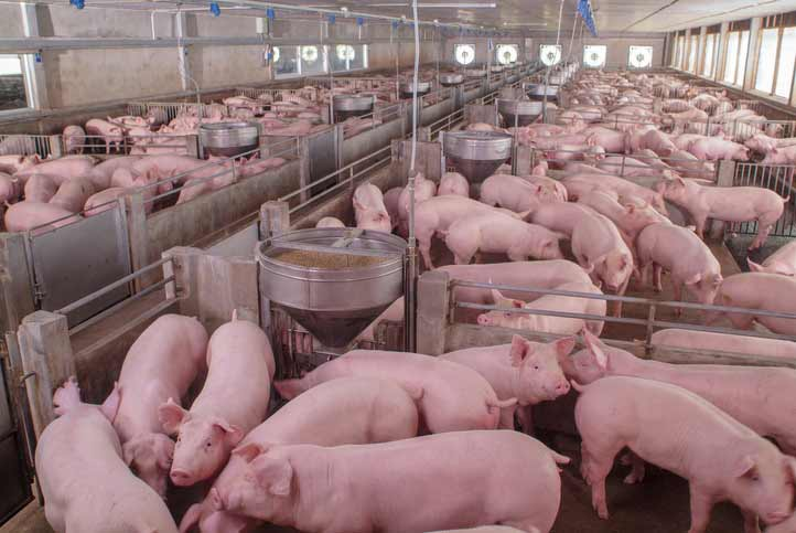 largest pig farm in the world
