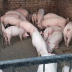 teacup pigs for sale in india