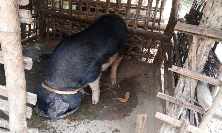 Pigs for sale in golaghat
