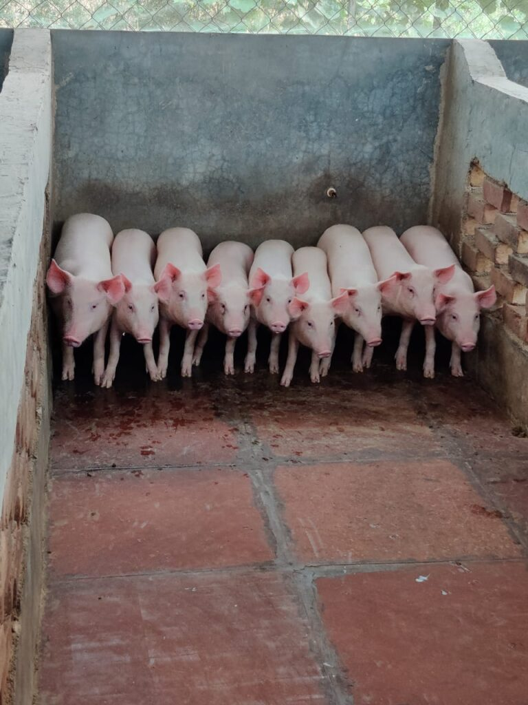 large white yorkshire piglet price in india